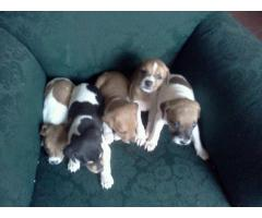 Hermosos Cachorros  Jack Russell !!