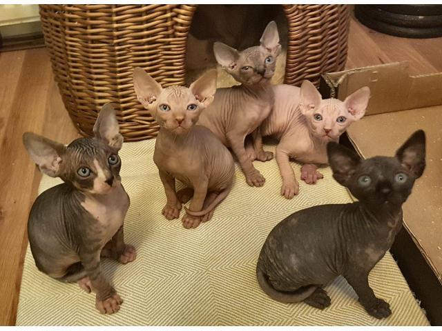 Sphynx Kittens Disponible ahora - 1/1