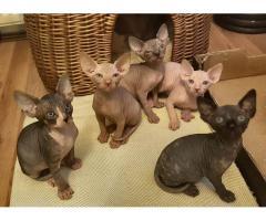 Sphynx Kittens Disponible ahora
