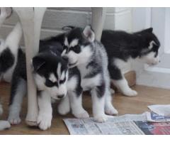 Cachorros de Husky siberiano disponibles.