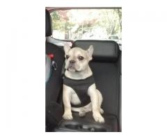 Bulldog Frances - Faw