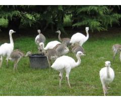 Polluelos de avestruz, Emus, polluelo de ñandú y huevos