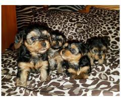 4 encantadores cachorros lindos de yorkshire terrier del muchacho para la venta,