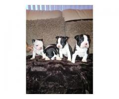 Nuestro chico y niña de terrier de Boston ha tenido 4 cachorros gruesos adorables,