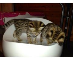 Socializados F1 y F2 Savannah Kittens disponibles