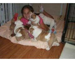 Cachorros Bulldog Inglés para adopción en tu hogar