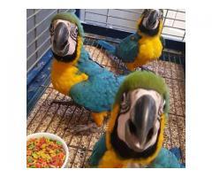 Bebé guacamayos pájaros para tu hogar