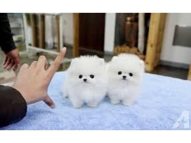 Cachorros Pomerania para tu hogar - 1/1