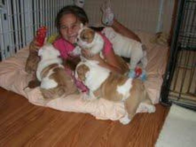 Bulldog Inglés Cachorros  para adopción - 1/1