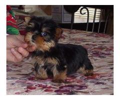 Lindos cachorros de Yorkie Terrier para adopción