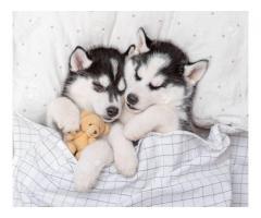 Dos cachorros de Husky para tu hogar