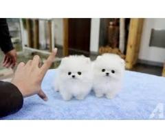 Tanto machos como hembras adorables cachorros de Pomerania para tu hogar