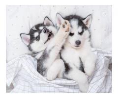 Lindos cachorros de Husky para tu hogar