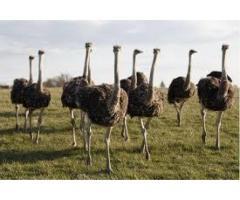 Avestruces, emos, pollitos nandus y sus pollitos