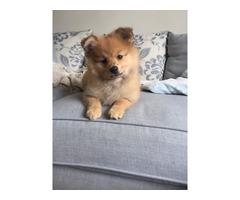 Cachorros Pomeranian