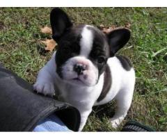 Bulldog Francés para su adopción en un hogar amante de los animales.