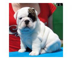 Lindos masculinos y femeninos bulldogs ingleses para la adopción