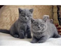 2 gatitos británicos de pelo corto listos para un nuevo hogar ahora