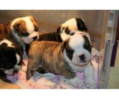 Bulldog Ingles de excelente calidad y precio