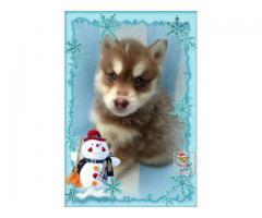 Husky Siberiano Manto Rojo Hembra,  whatsapp 3105362002