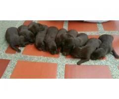 Labrador Chocolate hembras y machos para separar