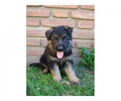 se venden lidos cachorros pastor aleman 3104876161