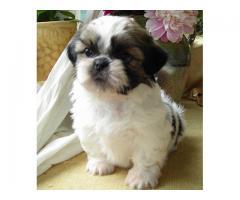 ala venta cachorros chittzu mini contactanos al wsapp 3104876161