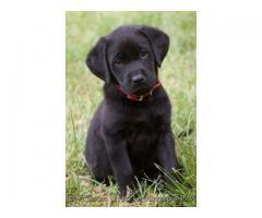 ala venta hermosos cachorros labradores negros contactanos al wasapp 3104876161