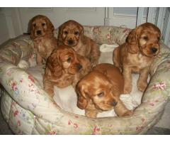 ala venta hermosos cachorros cocker spaniel contactanos al wasapp 3104876161