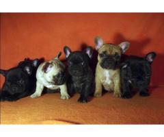ala venta hermosos cachorros bulldog ingles y frances contactanos al wasapp 3104876161