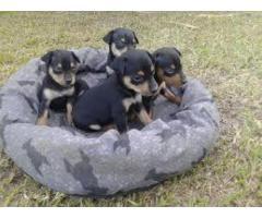 ala venta hermosos cachorros pincher contactanos al wasapp 3104876161