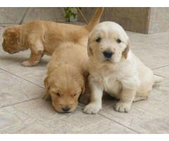 ala venta hermosos cachorros golden retriver contactanos al wasapp 3104876161