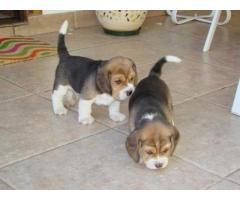 se venden lindos cachorros de todas las razas contactanos al wasapp 3104876161